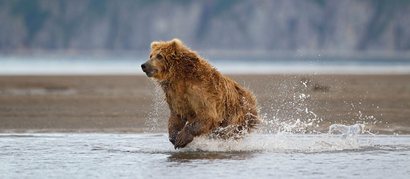 Adrenaline Filled Fun in Alaska: Feel Like Racing a Kodiak Bear?