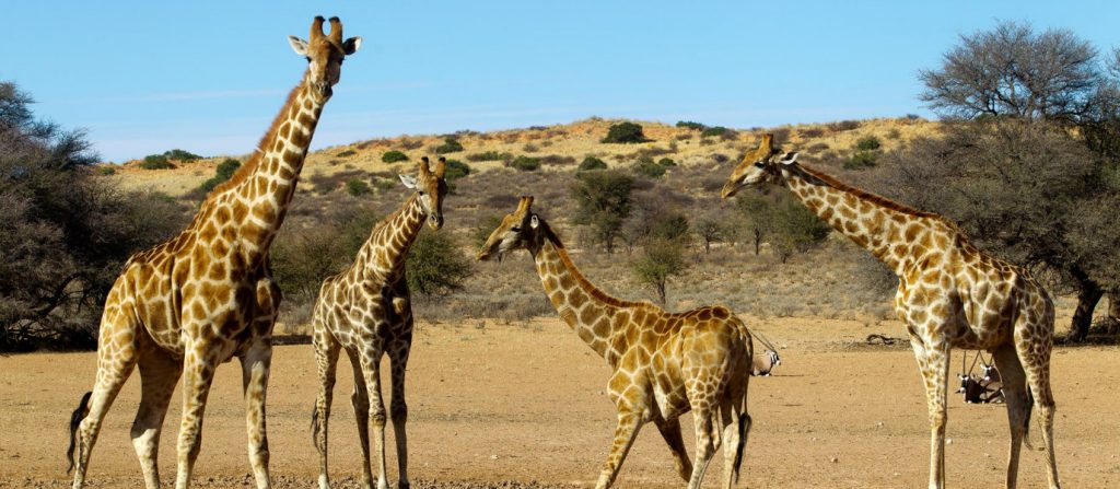 another-wildlife-attack-determined-giraffe-chases-riders-trail