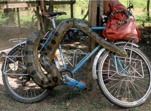 Bicycle guarded by a snake, Photo: bentrideronline.com