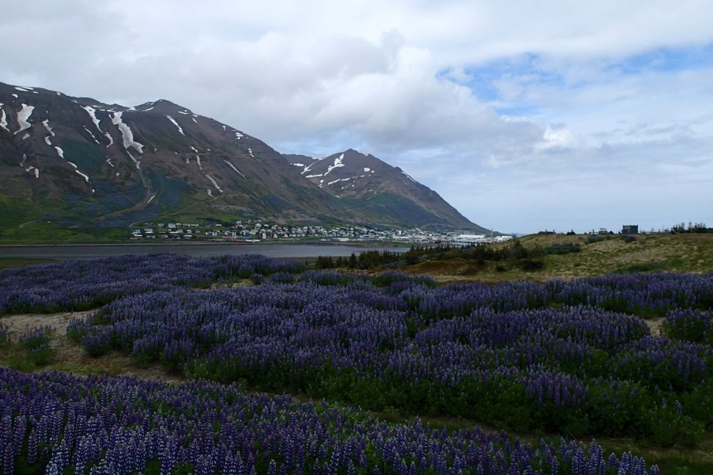 These purple lupines are everywhere. They smell delicious!