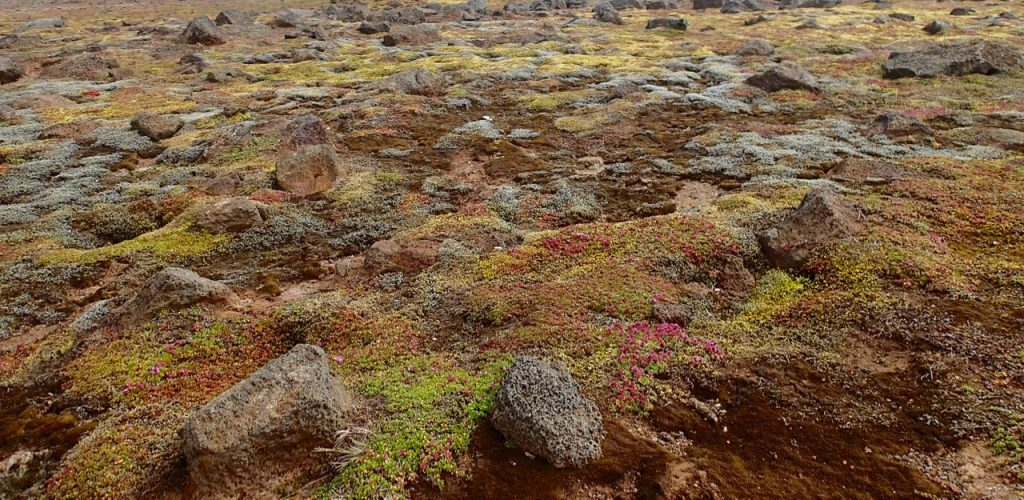 Colourful moss in Hveravellir