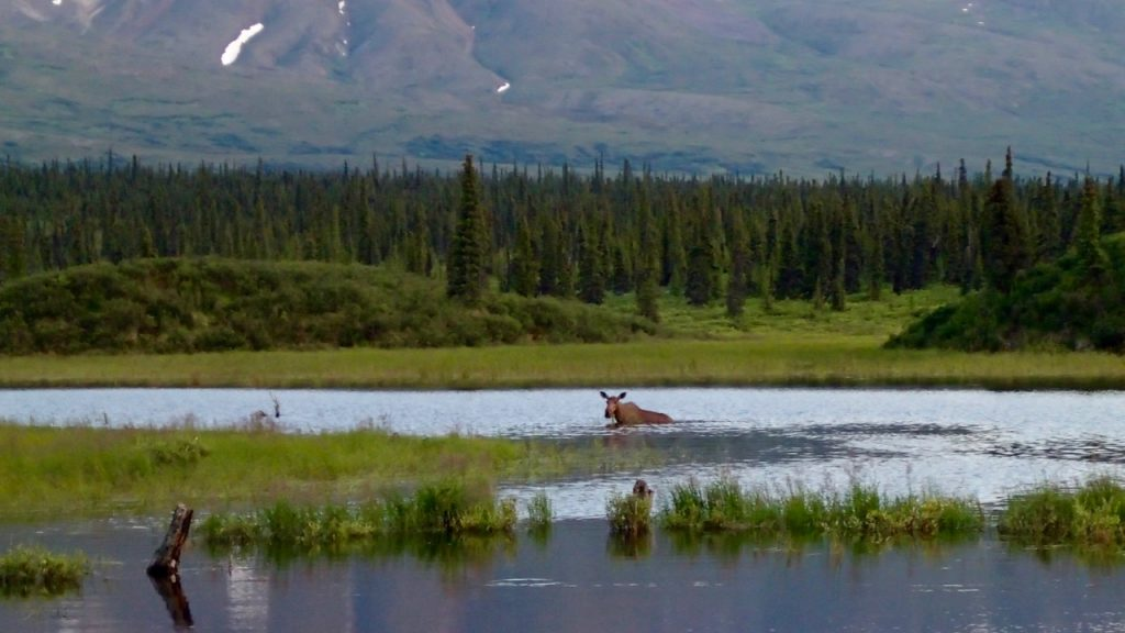 Moose snacking in the lake