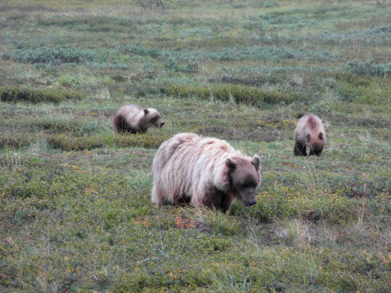 A grizzly and her two cubs