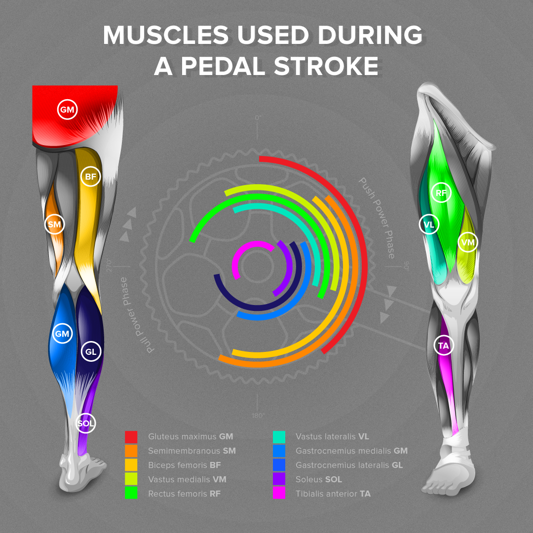 Ever wondered what kind of muscle you're using right there at that moment during your ride? We made an infographic just to answer that question. The lines on the wheel symbolize the part of a stroke you use the muscle on and the colour tells you easily which one it is. Enjoy and don't forget to like it on Facebook!